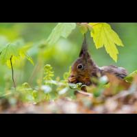 Eichhörnchen (1 von 1)-2.jpg (Enrico)
