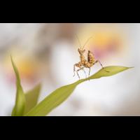 Creobroter gemmatus (1 von 1).jpg (Enrico)