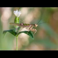 Creobroter gemmatus adult (1 von 1).jpg (Enrico)