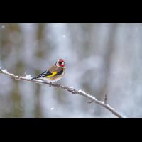 Stieglitz-im-Winter.jpg (Enrico)