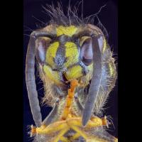 M4_wasp.jpg (Adalbert)