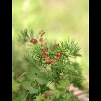 Zypressen-Wolfsmilch (Euphorbia cyparissias).JPG (geggo)