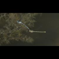 zwei Libellen 227 klein.JPG (Karin)