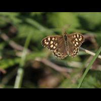 Schmetterling1 Kopie.jpg (Onkel-Herbert)