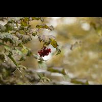 IMG_7548 rote beeren Kopie.jpg (Cheyenne)