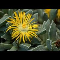 Faucaria bosscheana 2477-2; Aizoaceae (1).jpg (plantsman)