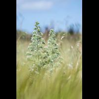 Echium italicum; Boraginaceae (1).jpg (plantsman)