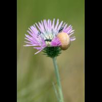 Galactites tomentosa; Asteraceae (1).jpg (plantsman)
