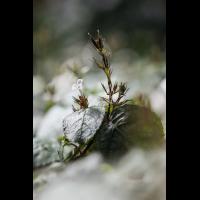 Hemigraphis; Acanthaceae (1).jpg (plantsman)