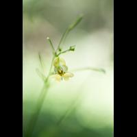 Impatiens parviflora; Balsaminaceae (2).jpg (plantsman)