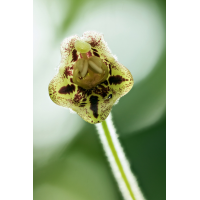 Rhytidophyllum tomentosum 0811-1; Gesneriaceae (2)-2-2.jpg (plantsman)