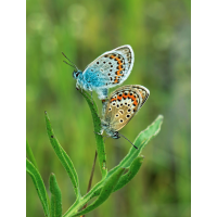 Bläuling Elbingerode-Hasselfelde; Insekt (1).jpg (plantsman)