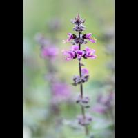 Ocimum canum ´Wildes Purpur´ 2453-2; Lamiaceae (3).jpg (plantsman)