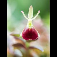 Epidendrum porpax 5263-1; Orchidaceae (2).jpg (plantsman)