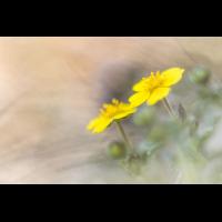 Potentilla incana Quedlinburg; Rosaceae (1).jpg (plantsman)