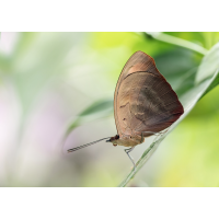 Tagfalter Monteverde; Insekt (1).jpg (plantsman)