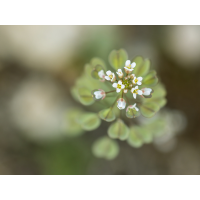 Microthlaspi perfoliatum; Brassicaceae (1).jpg (plantsman)