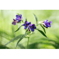 Aegonychon purpurocaeruleum; Boraginaceae (2).jpg (plantsman)