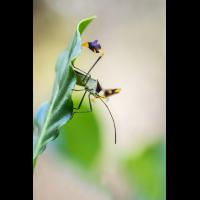 Coreidae Costa Rica Insekt (1).jpg (plantsman)