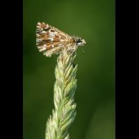 Dickkopffalter; Hesperiidae Insekt (1).jpg (plantsman)