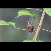 Kolibri La Gamba (1)-2.jpg (plantsman)