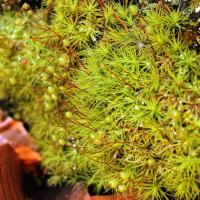 Bartramia pomiformis; Bartramiaceae Moos (1).jpg (plantsman)
