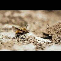 Bombyliidae Wollschweber; Insekt Hue (1).jpg (plantsman)