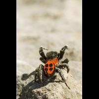 Springspinne Zoniana; Salticidae Spinne (1).jpg (plantsman)