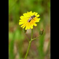 Biene 51.65213 10.65019; Hymenoptera Insekt (1).jpg (plantsman)