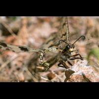 Palpares libelluloides Libellen-Ameisenjunger; Myrmeleontidae Insekt (3)-2-1.jpg (plantsman)