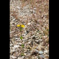 Blackstonia perfoliata ssp. intermedia; Gentianaceae (2a)-3.jpg (plantsman)