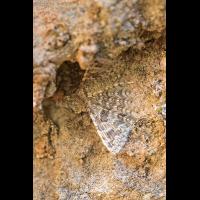 Federgeistchen Zoniana Gorge; Alucitidae Insekt (1)-3.jpg (plantsman)
