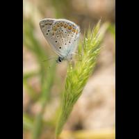Bläuling Astyraki; Lycaenidae Insekt (1).jpg (plantsman)
