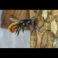 Bienenhotel Wildbiene.jpg (Werner33)
