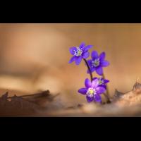 20180414-Hepatica nobilis-IMG_3342.JPG (lysfisker)