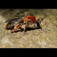 20150421-Andrena haemorrhoa-Crop-IMG_0390.jpg (lysfisker)