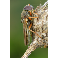 Cheilosia_flavipes1.jpg (Artengalerie)