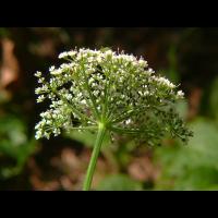 weiß-Aegopodium-podagraria-Giersch-20090614-Blütenstand-von-unten-(ohne-Hülle-&-ohne-Hüllchen!)-Bermatingen-Oberwald-darker.jpg (Artengalerie)