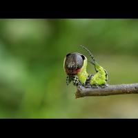 Gabelschwanz_4244.jpg (Artengalerie)