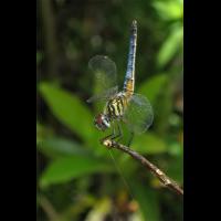 pachydiplax_longipennis_1_200~0.jpg (Artengalerie)
