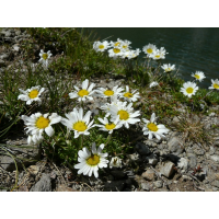margeriten0069_190.jpg (Artengalerie)