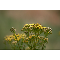 rainfarn_146.jpg (Artengalerie)