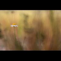kamille_im_feuer_790.jpg (Artengalerie)