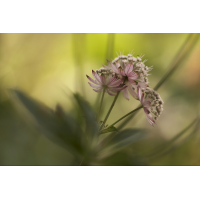 sterndolde_bluete_154.jpg (Artengalerie)