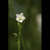c_persiciflora22_05_2009IMG_1581.jpg (Artengalerie)