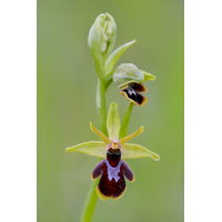 insectifera_araneola_389.jpg (Artengalerie)