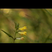 waldwachtel.jpg (Artengalerie)