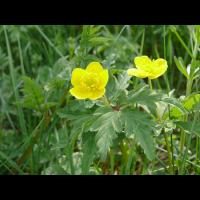 anemone_ranunculoides_362.jpg (Artengalerie)