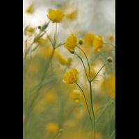 ranunculus_acris_503.jpg (Artengalerie)