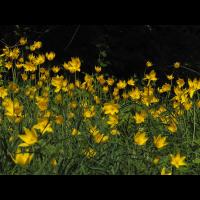 ts_tulipa_sylvestris_04_140.jpg (Artengalerie)